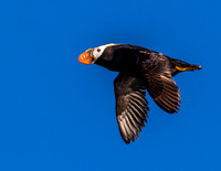 Puffin Flight